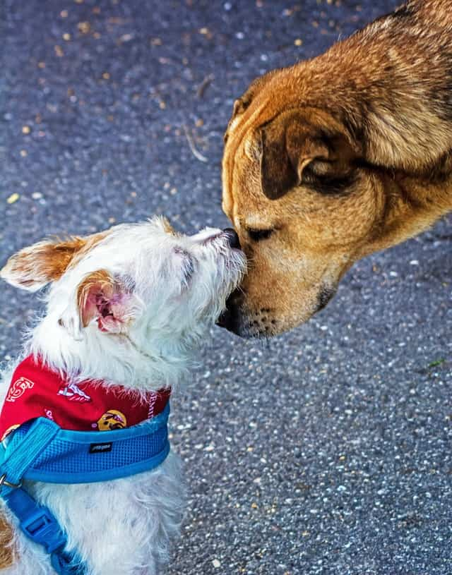 this image represents how dogs could spread parvo by sniffing each other or licking each other's mouth