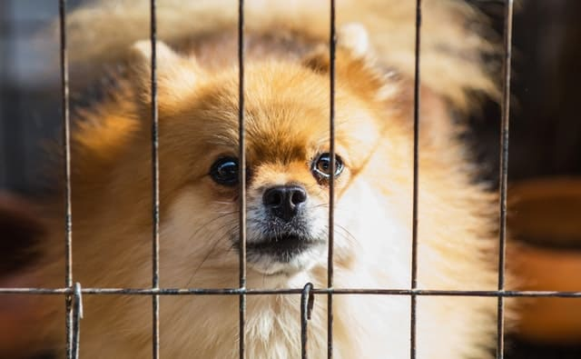 image shows a dog in a dog cage to represent how to quarantine a dog with parvo. dogs with parvo should be isolated until they test negative for parvo