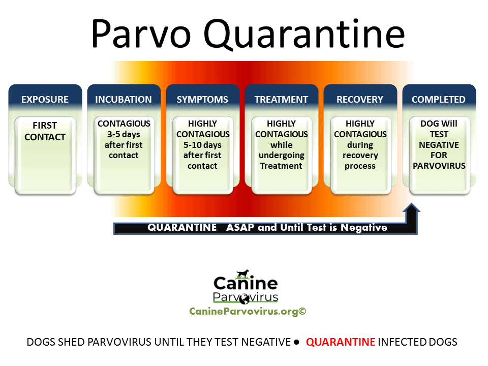 image shows how long a dog is contagious with parvo and how long they should be in quarantine due to parvo infection