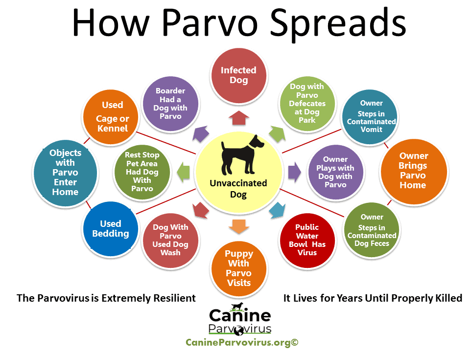 This image is a flow chart that shows all the ways parvo is spread.  Parvo can be spread dog to dog and it can be spread my contaminated objects with parvo infected feces or vomit.