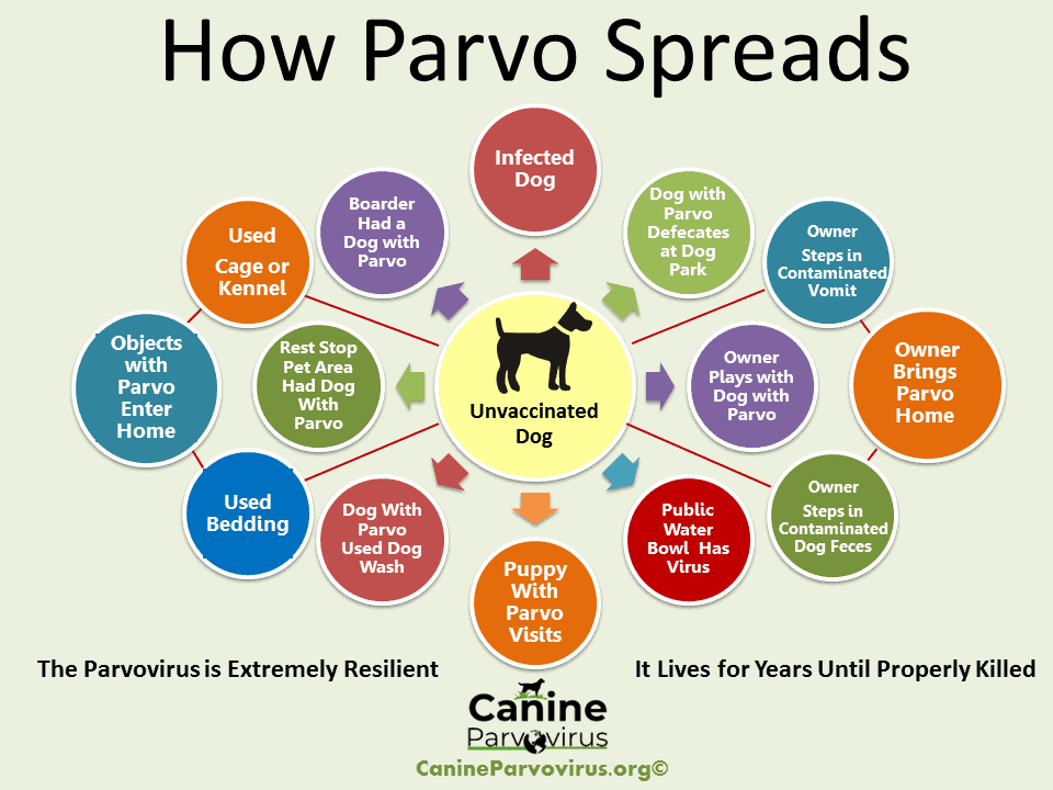 image demonstrates parvo spreads from dog to dog or object to dog